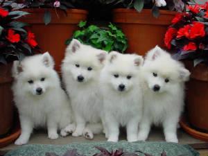 Cherubs Toy Miniature American Eskimo Dogs